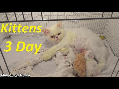(LIVE) My Kittens And Mother Lying So Cute   Cat Gives Birth To Kittens   Meo Cover Home