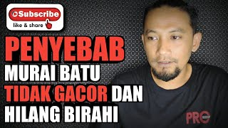 penyebab MURAI BATU TIDAK GACOR dan HILANG BIRAHI