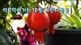 석류 익어가는 베란다 정원~^^♡♡