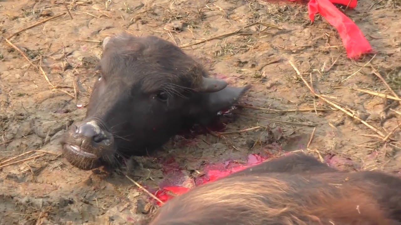 Download Animal Slaughter   Mass Animal Slaughter   slaughter festival   viral video😭😭😭   beheading animals