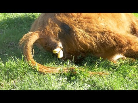 The Birth Of A Highland Cattle | 4K Video