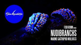 Fish Room Update - Nudibranchs | Sea Slugs