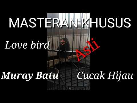 Masteran khusus love bird,Muray batu, Cucak hijau,Asli suara Tengkek Buto 1 jam