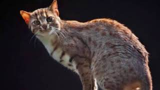 Fantastic Little-Known Felines Rusty-Spotted Cat || Facts Academy Video