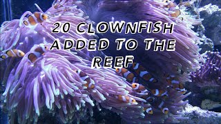 20 Clownfish One Aquarium. 200 Gallon Reef aka The EX Wife.