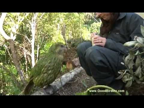 Training Sirocco the Kakapo to Station