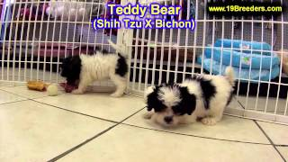 Teddy Bear, Puppies For Sale, In, Bellevue, Washington, Wa, Yakima, Kitsap, Thurston, Clark, Spokane
