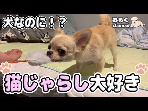 🔴友達が家に遊びに来た!みるくの大好きな猫じゃらしで遊んでもらったよ!【dog】【puppy】【chihuahua】