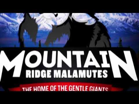 Giant Alaskan Malamute's in Slow Motion