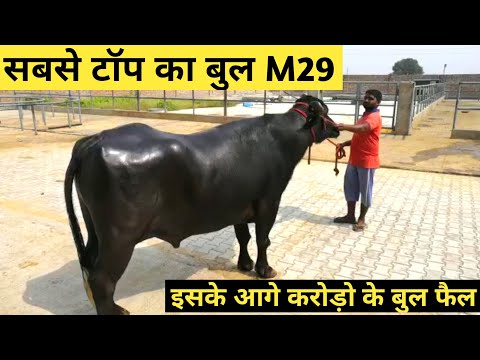 World's Famous Super Murrah Bull #M29 Hissar Full Detail Video in Hindi