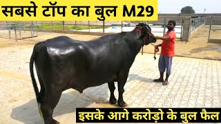 World\'s Famous Super Murrah Bull #M29 Hissar Full Detail Video in Hindi