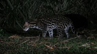 Ocelot  in  Suriname (in the wild !)