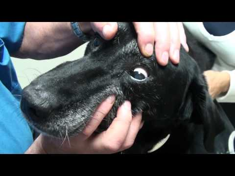 Old Dog Vestibular Syndrome Commonly Referred to as a Stroke