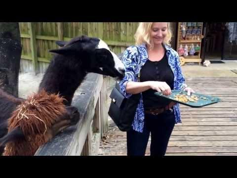Llama spitting at me!