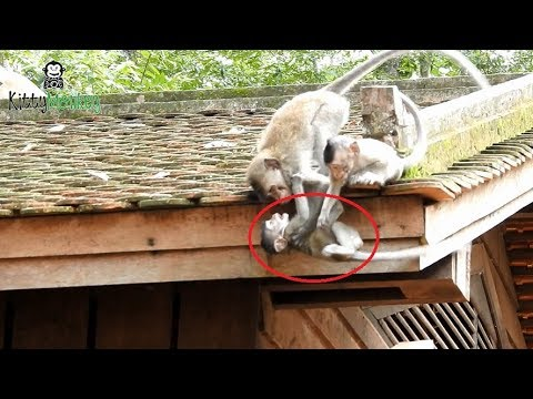 Wow Amazing brother monkey  save baby monkey nearly fall down from the roof