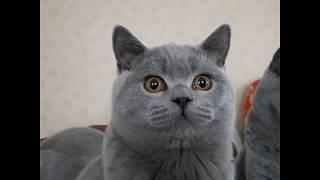 Британский котенок Amur, голубого окраса.
