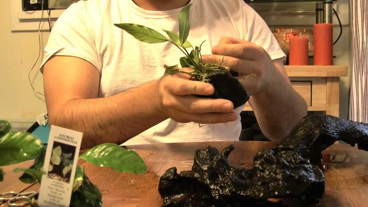 How To Plant Anubias In Your Aquarium Part 2 Youtube