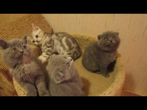 Плюшевые котята Британские и вислоухие Шотландские