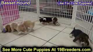 Basset Hound, Puppies, For, Sale, In, Birmingham, Alabama, Al, Montgomery, Tuscaloosa, Jefferson, Sh