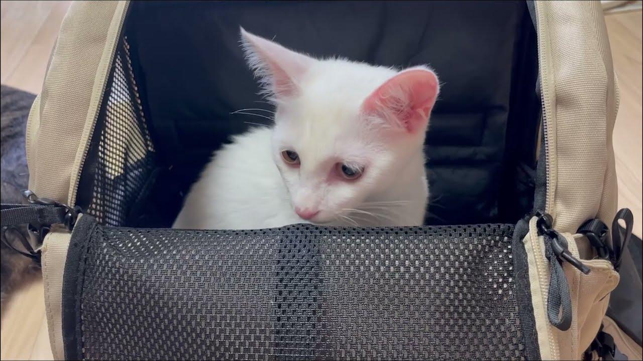 양파 중성화했어요#고양이#cat#중성화수술