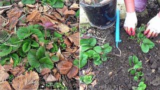 Уход за клубникой весной Первое, что нужно сделать с клубникой  конце зимы или рано весной