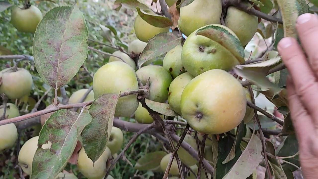 Четыре сорта яблок на которых я ПОКА остановился.