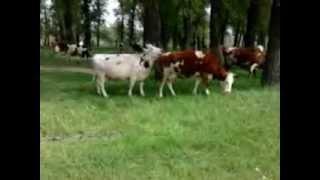 коровы лизбиянки)))