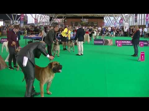 DOGO CANARIO WORLD DOG SHOW 2018 AMSTERDAM 1