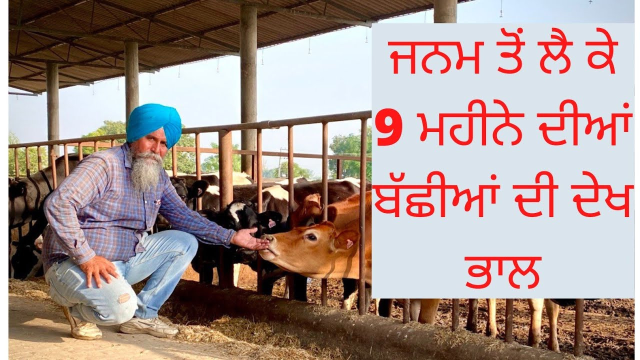 HOW TO TAKE CARE OF CALF FROM BIRTH TO 9 MONTHS WITH FEED FORMULA AULAKH DAIRY FARM | RAMPURA PHUL