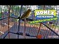 Suara Burung Aksi Bonex Di Keroyok Juri Yang Bertugas Pleci Gacor Dakun Jateng Miliknya Waweh  Mp3 - Mp4 Download