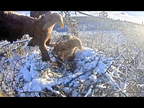 W T eagles Latvia 1 3 17 Vent & Shilut working to remove snow off nest