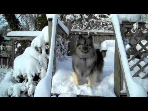 A keeshond dog loves the winter in Fargo