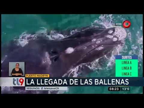 La llegada de las ballenas a Puerto Madryn