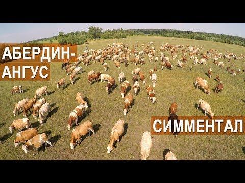 Спиваков А.А. Об особенностях Симментальской и Абердин-ангусской пород мясного скота