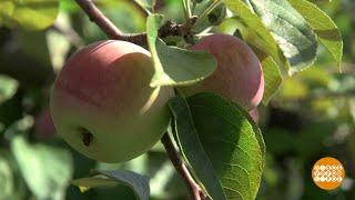 Эх, яблочки! 17.08.2018