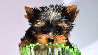 Yorkshire Terrier Puppies Available For Sale Cheap