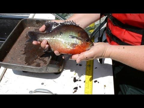 Satilla River DNR Shock Boat Sampling - Crickets, Beware!