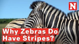 A new study suggests that zebras have stripes to avoid being bitten...