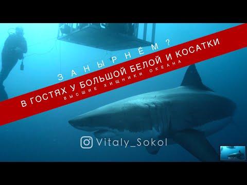 Косатки и Большая Белая акула, можно ли плавать с топовыми хищниками в океане?