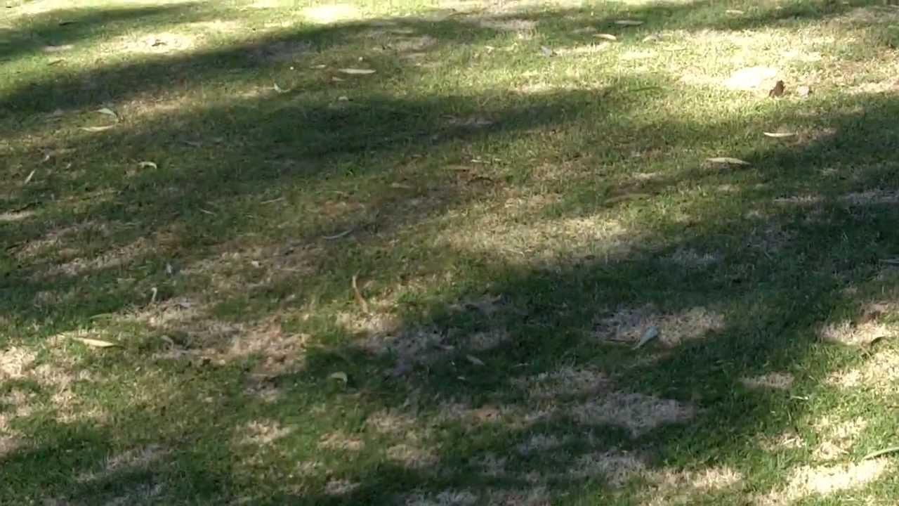 turf disease