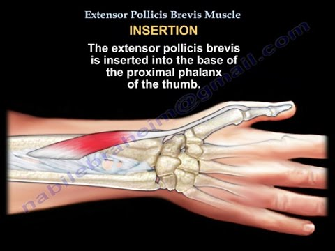 abductor the thumb muscle in Ruptured