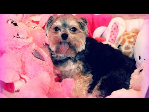FOUR POUND FULLY GROWN MORKIE WITH CRAZY JUMPS!