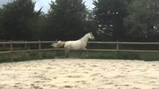Cheval à vendre - Bijoux - hongre - pure race Tersky