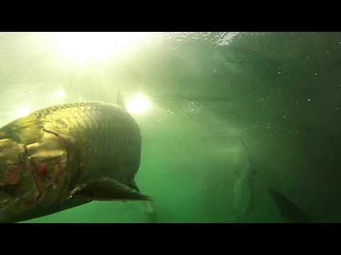 Tarpon Feeding Fish Circle 1080p