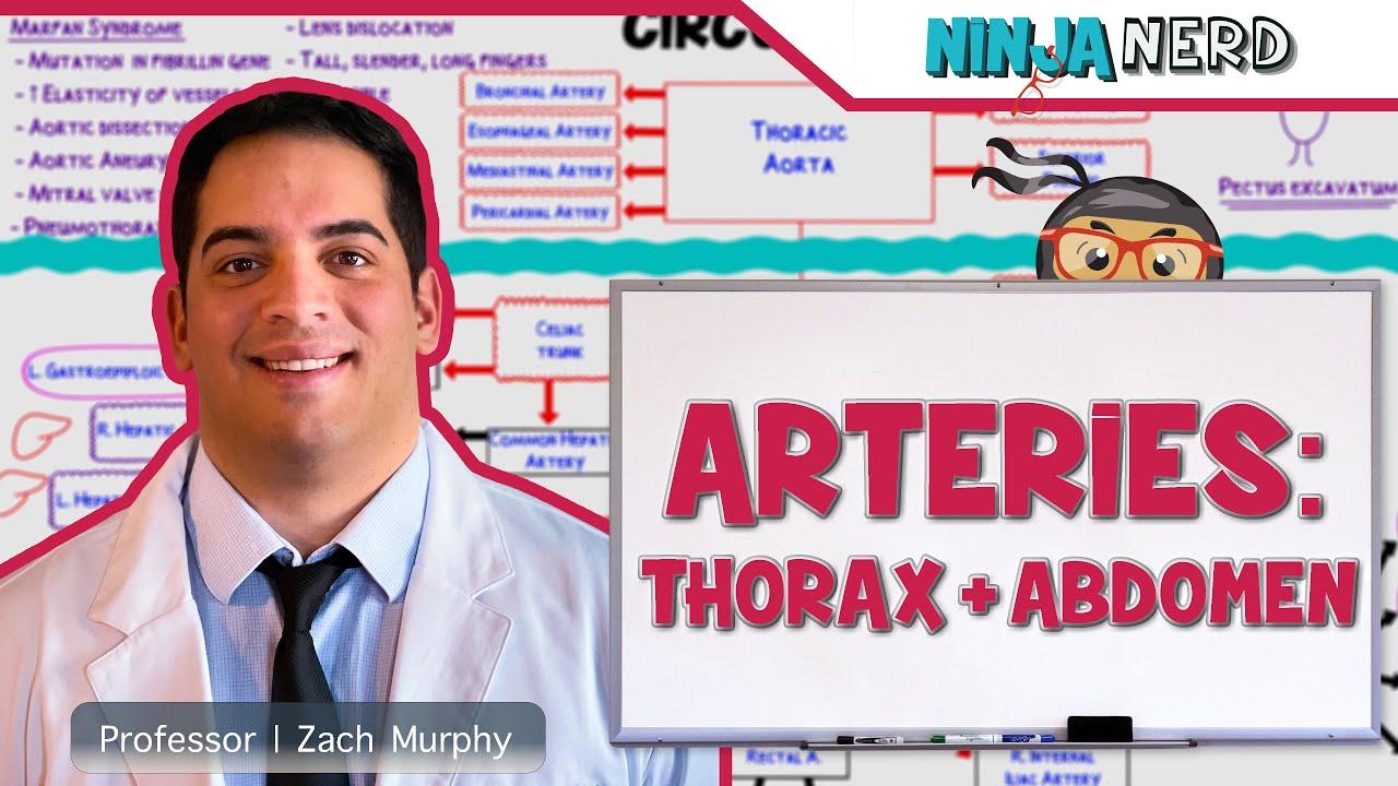 Circulatory System   Arteries of the Thorax & Abdomen ...