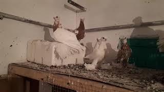 Узбекские декоративные голуби
