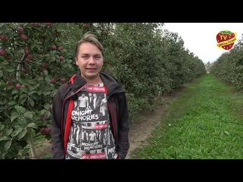 В Совхозе имени Ленина идет сбор яблок урожая 2020