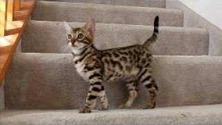 "Bengal Kitten - ""look at me!"""