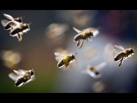Ловля роев. Сколько я поймал роев в 2017 году. Роеловство. Пчеловодство.