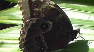 Butterflies at RHS Wisley - Blue Morpho - Emperor Butterfly Keisara Fiðrildi  - Hávængja